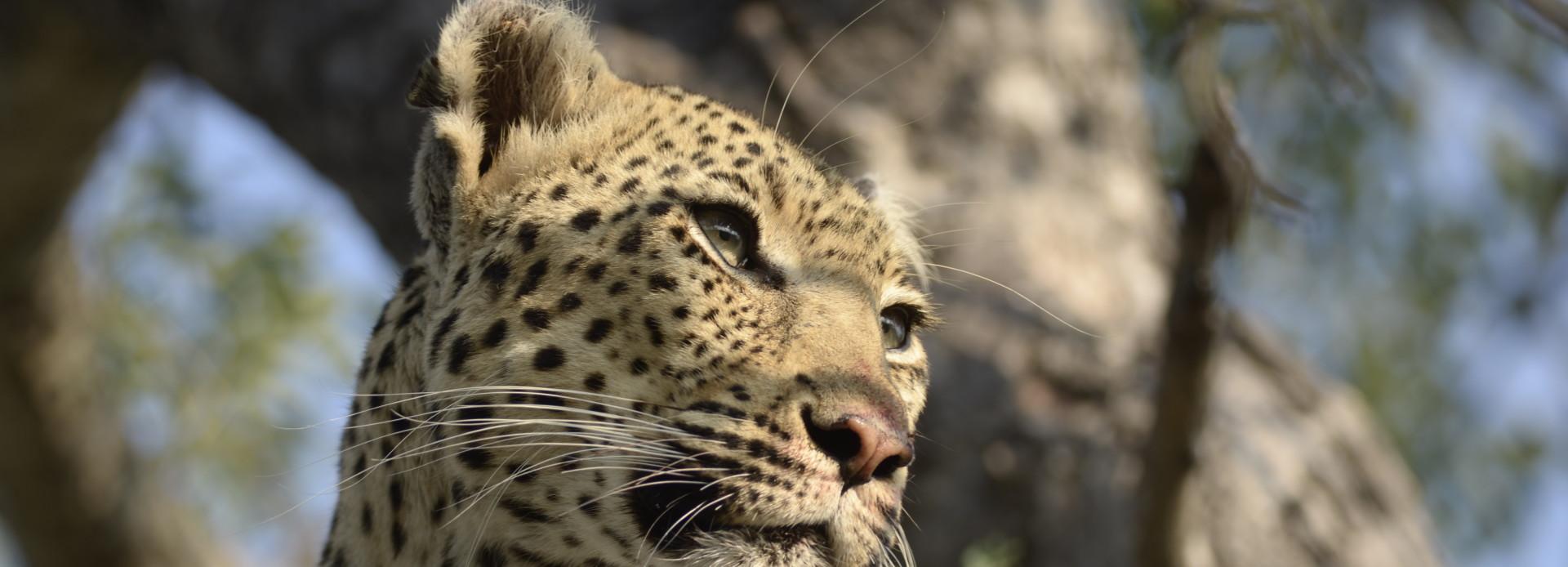 Leopard im Motswari Private Game Reserve Südafrika