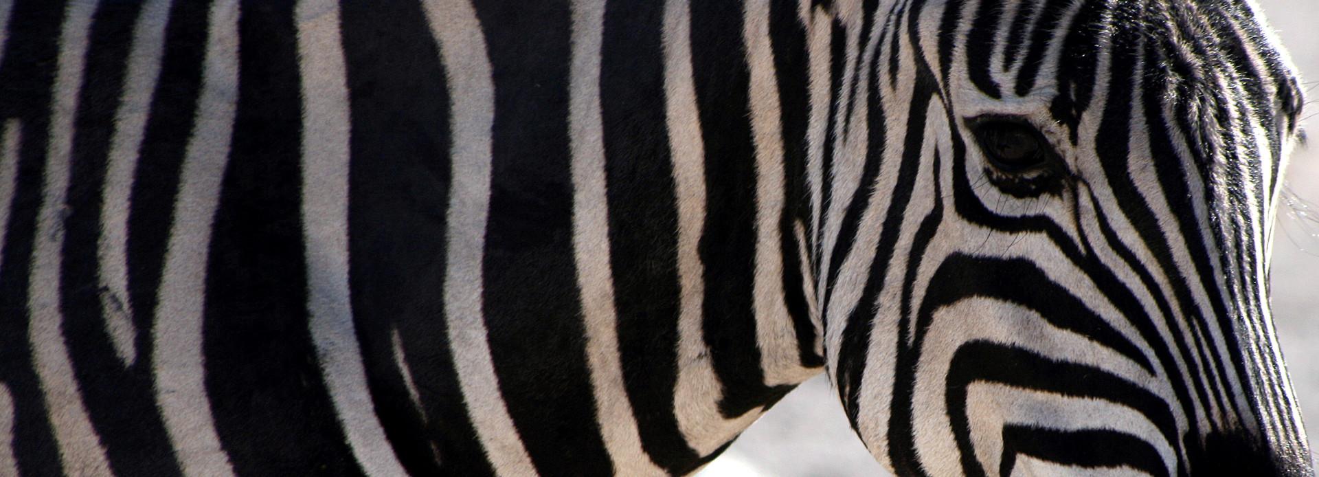 Namibia Zebra im Etosha Nationalpark
