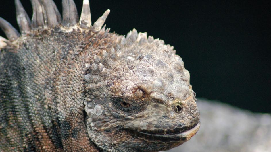 Ecuador Galapagos Iguana