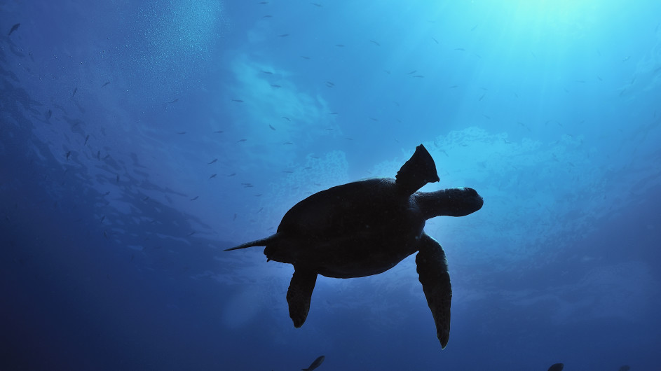 Ecuador Galapagos Meeresschildkröte