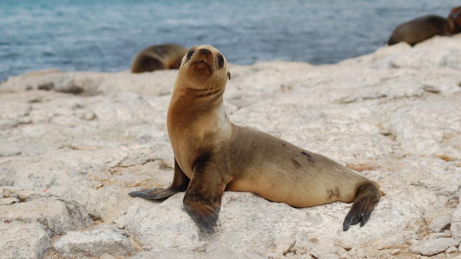 Ecuador Galapagos Seelöwe