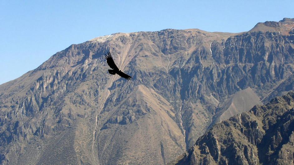 Peru Condor kreist über dem Colca Canyon
