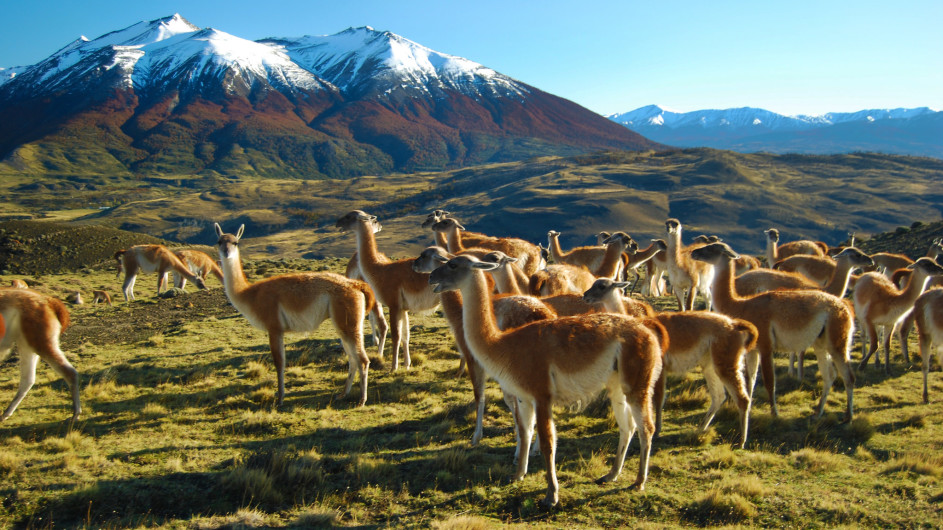 Chile - Torres del Paine - Guanacos