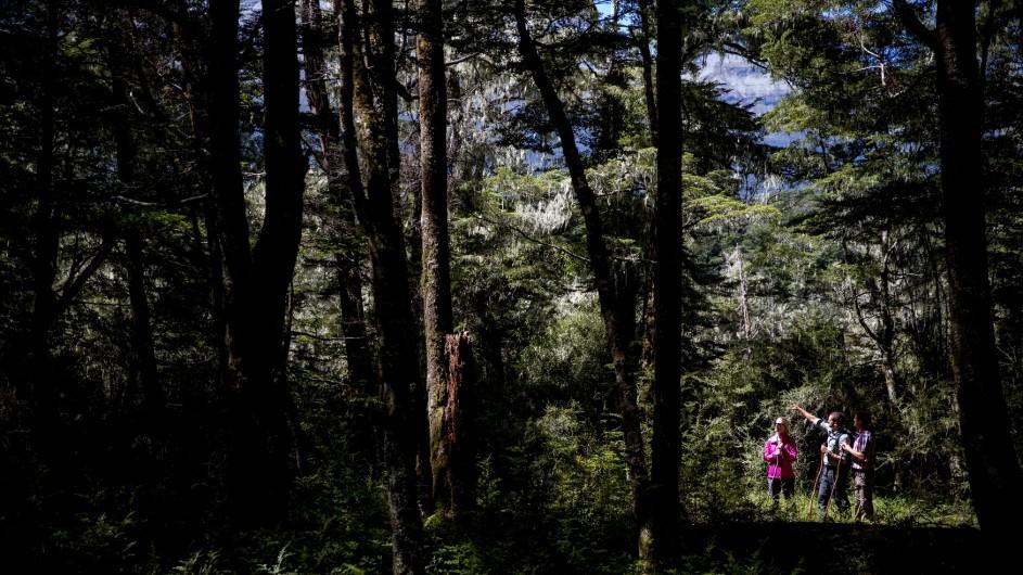 Neuseeland Beech Forest Wanderer