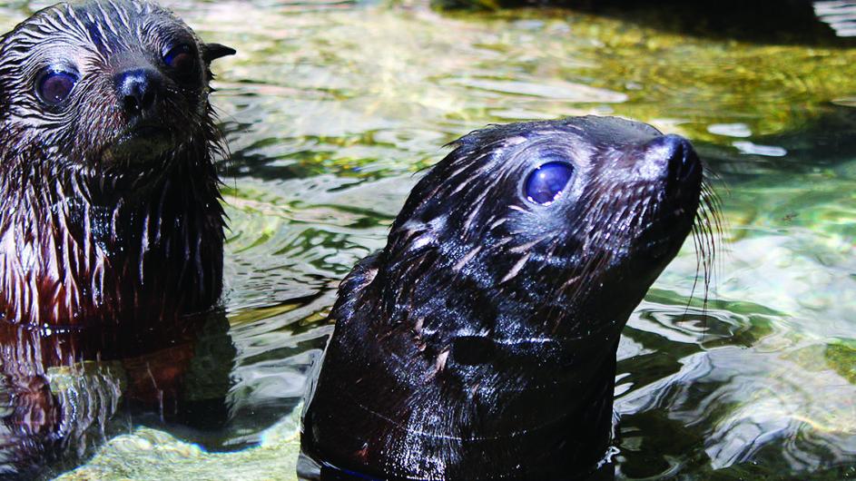 Neuseeland Abel Tasman Nationalpark Seehund