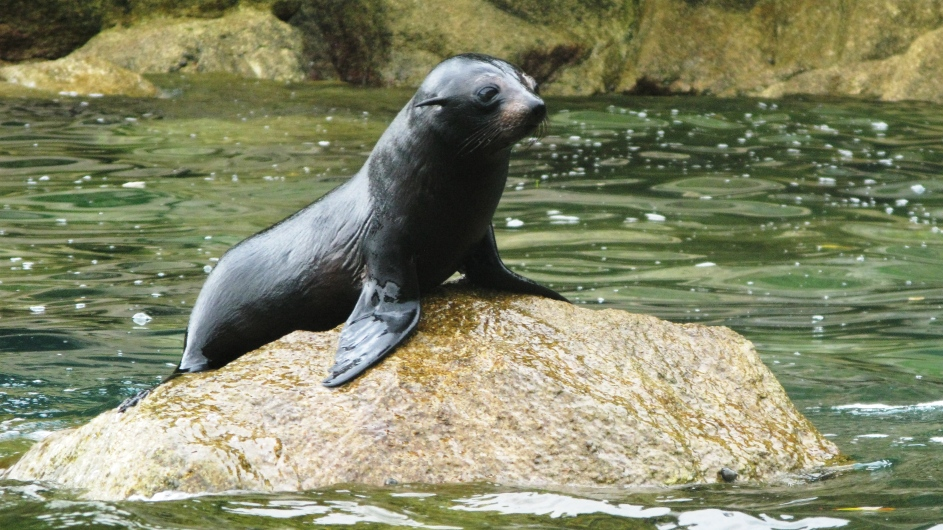 Neuseeland Abeltasman Nationalpark Seehundbaby