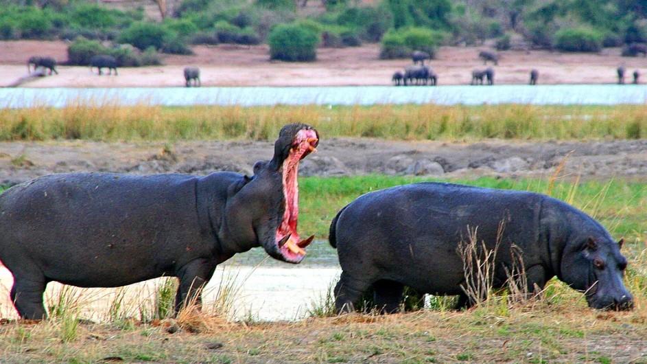 Botswana Nilpferde im Chobe Nationalpark