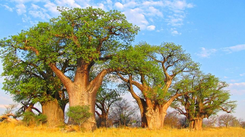 Botwana Baobab im Makgadikgadi Nationalpark