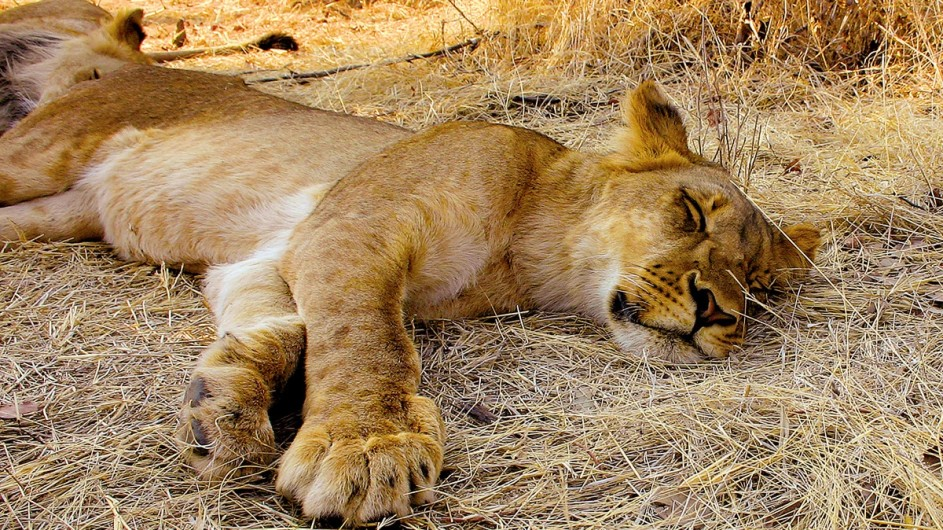 Botswana Löwin