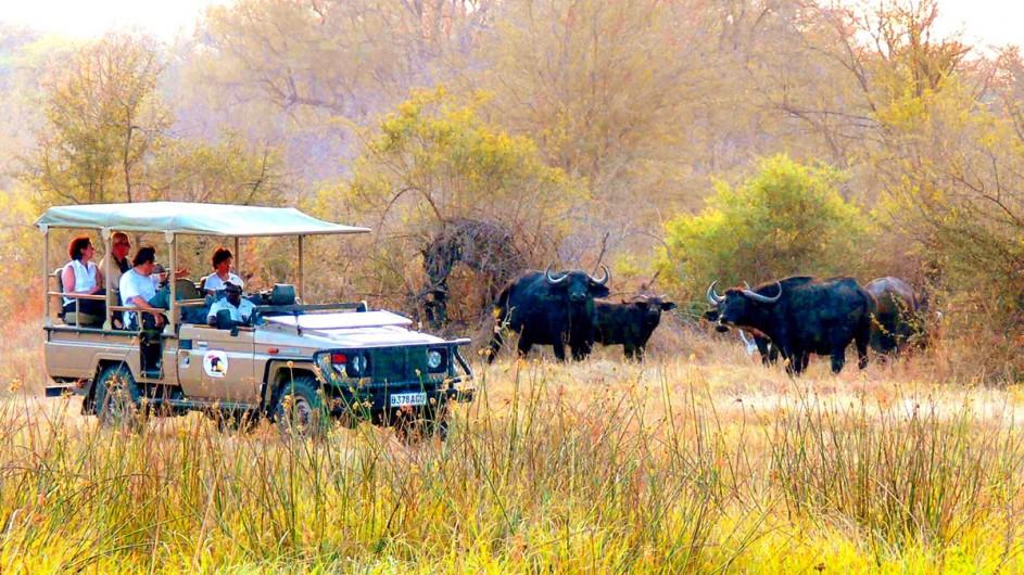 Botswana Safari Pirschfahrt Wasserbüffel