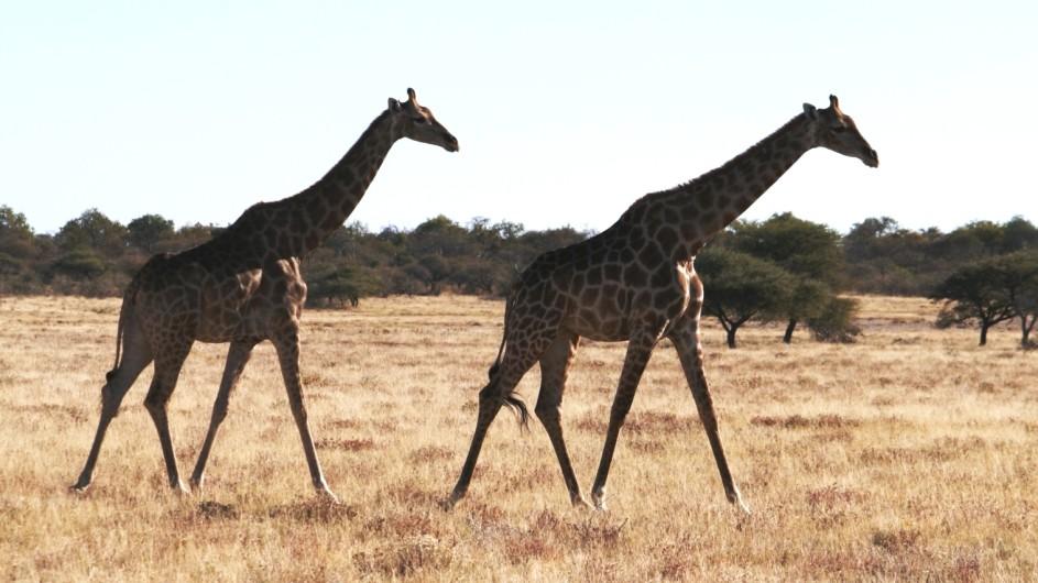 Namibia Etosha Nationalpark Giraffen