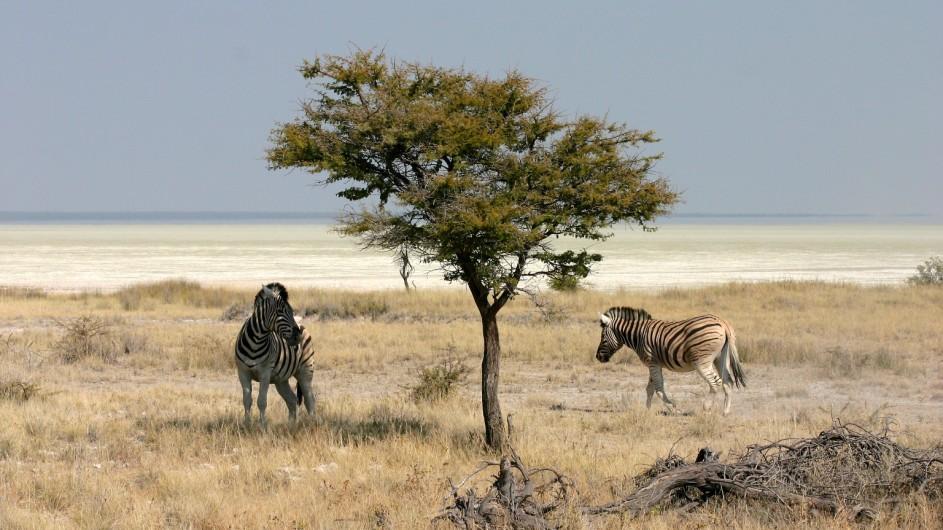 Namibia Etosha Nationalpark Steppenzebras