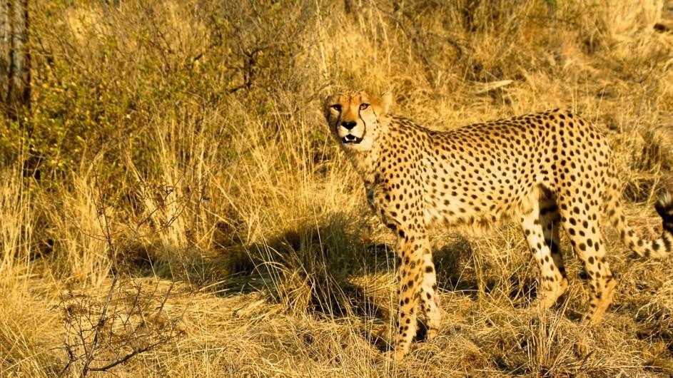 Namibia Gepard
