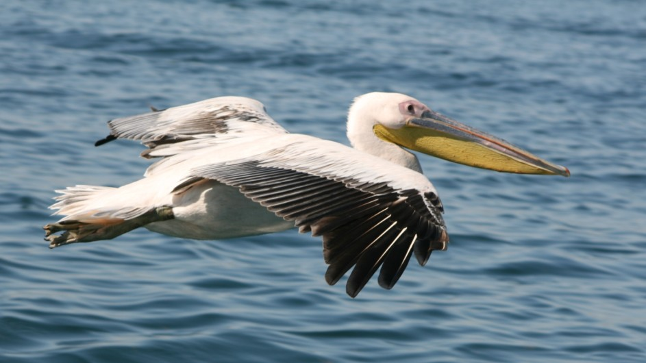 Namibia Walvis Bay Pelikan