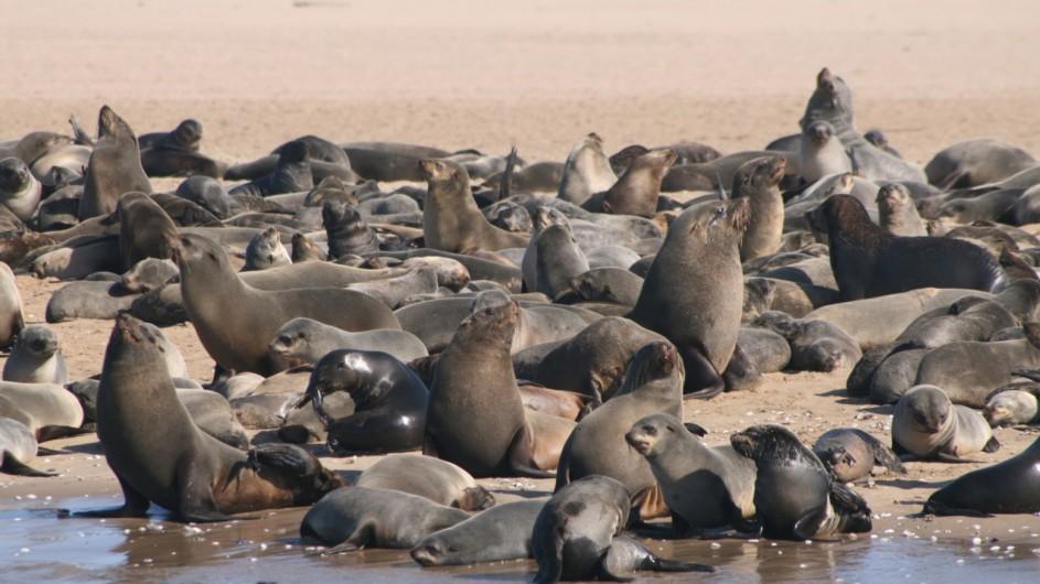 Namibia Walvis Bay Robben