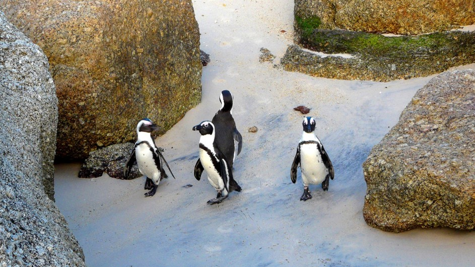 Südafrika Cape Point Pinguine