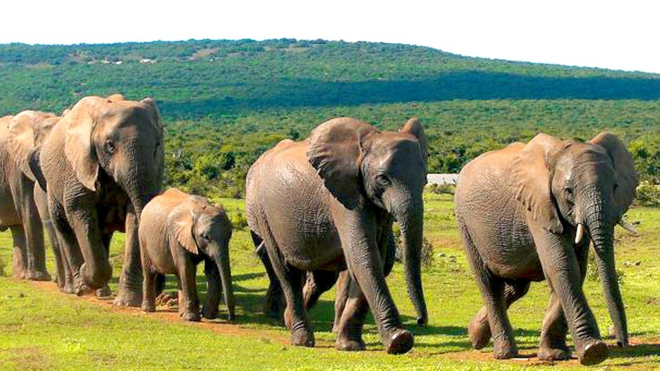 Südafrika Elefanten im Addo Nationalpark