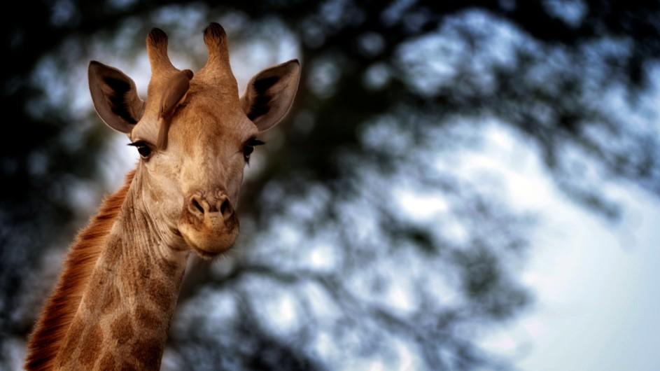 Südafrika Krüger Nationalpark Giraffe