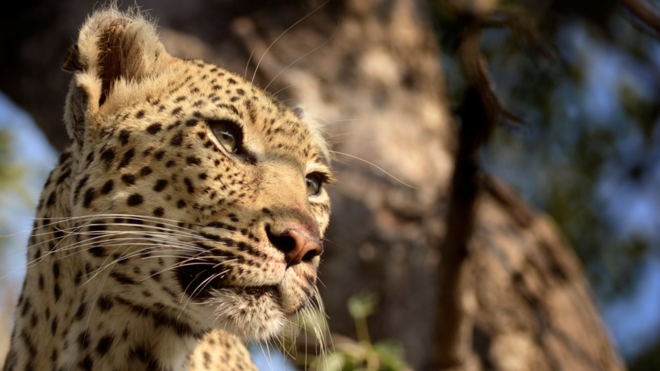 Südafrika Krüger Nationalpark Leopard