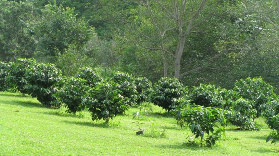 Südafrika Kaffeefarm