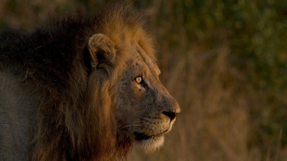 Südafrika Krüger Nationalpark Löwe