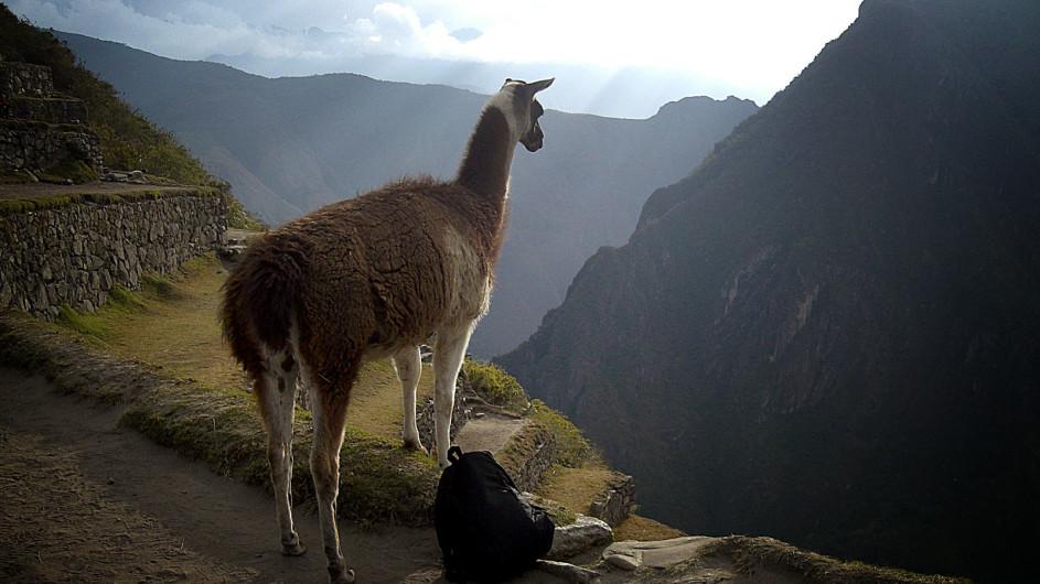Peru - Lama am Machu Picchu