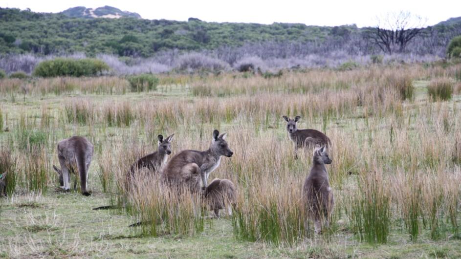 Australien Wilsons Promontory Kängurus