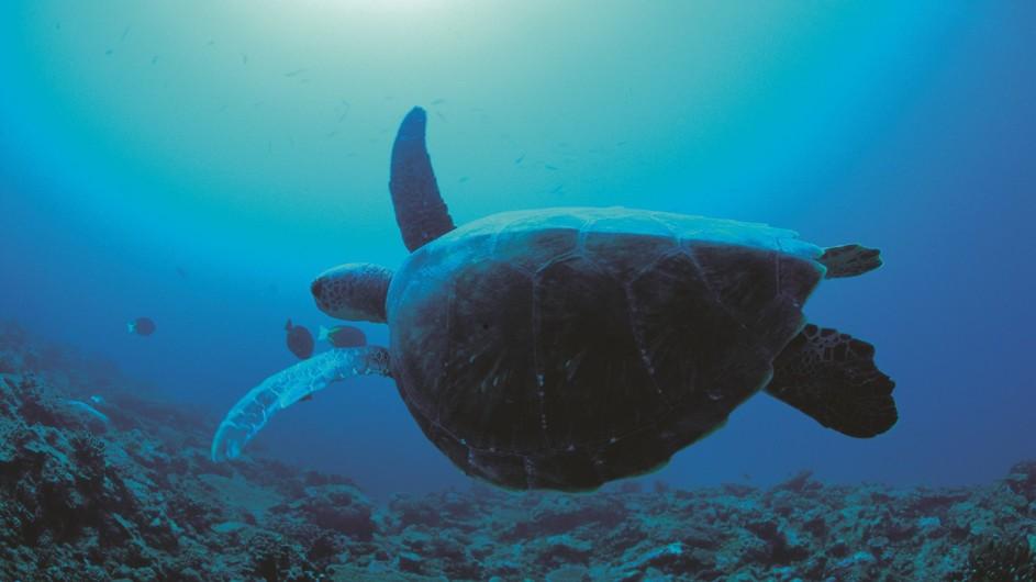 Australien Westaustralien Ningaloo Reef Schildkröte