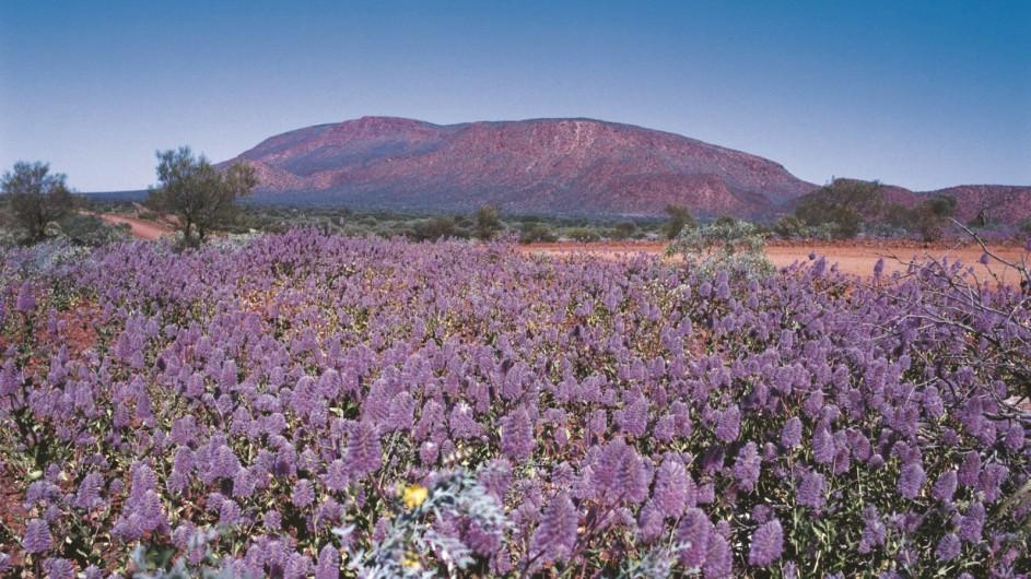 Australien Westaustralien Wildblumen vor Mount Augustus
