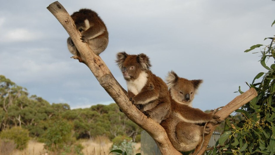 Australien Great Ocean Walk Koalas