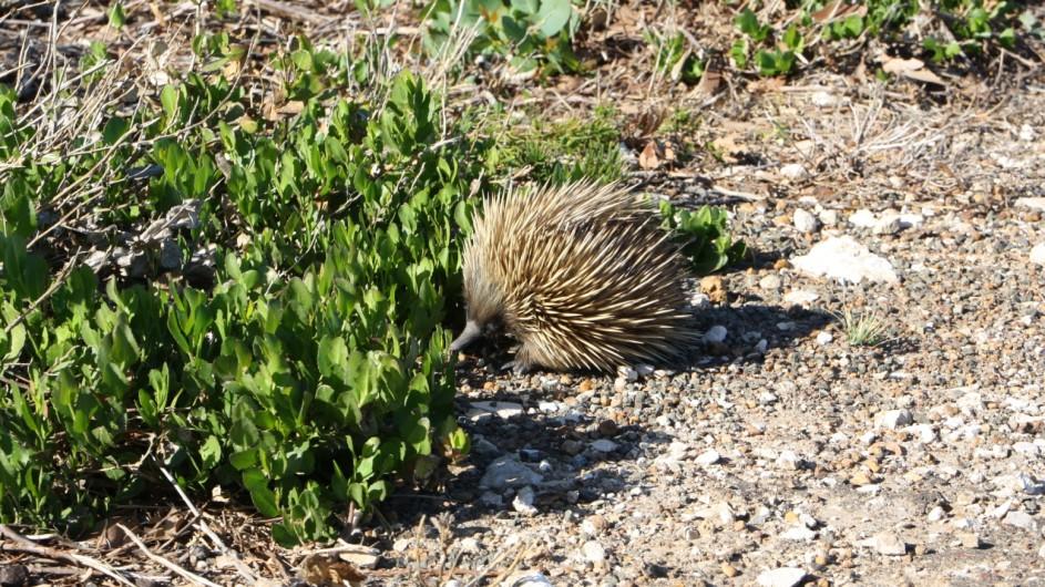 Australien Kangaroo Island Echidna
