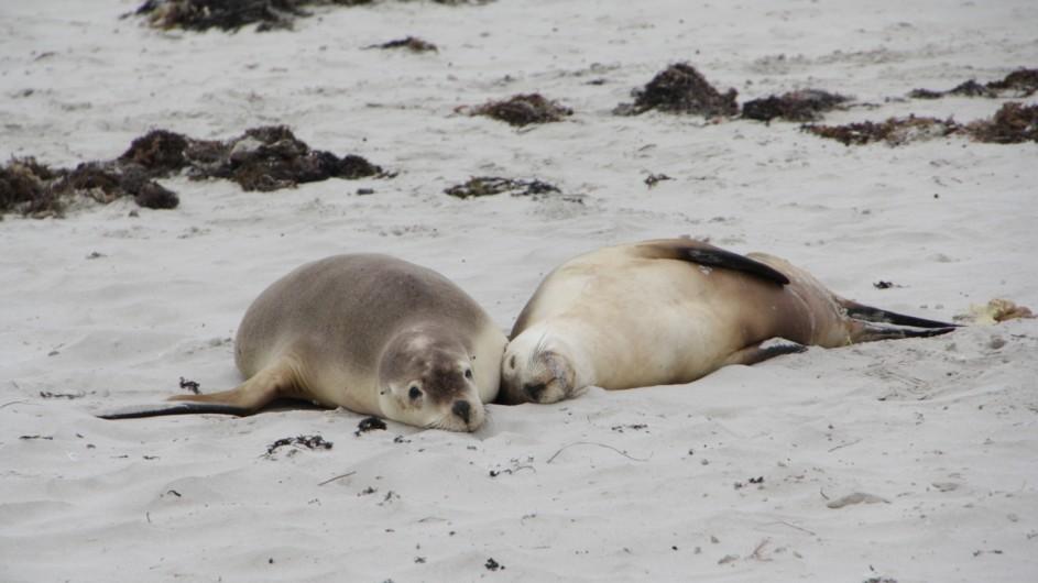 Australien Kangaroo Island Seals Bay