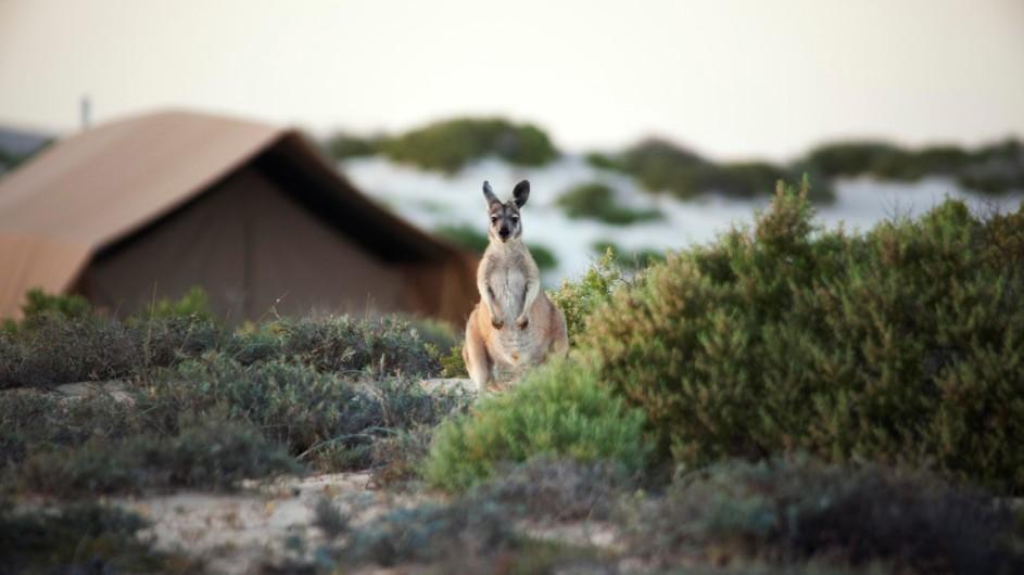 Australien Sal Salis Känguru im Camp