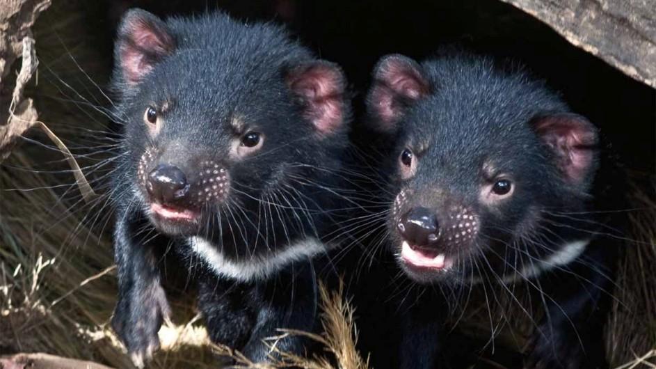 Australien Tasmanischer Teufel