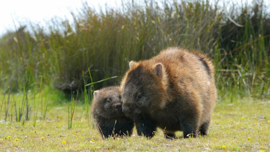 Australien Tasmanien Wombats