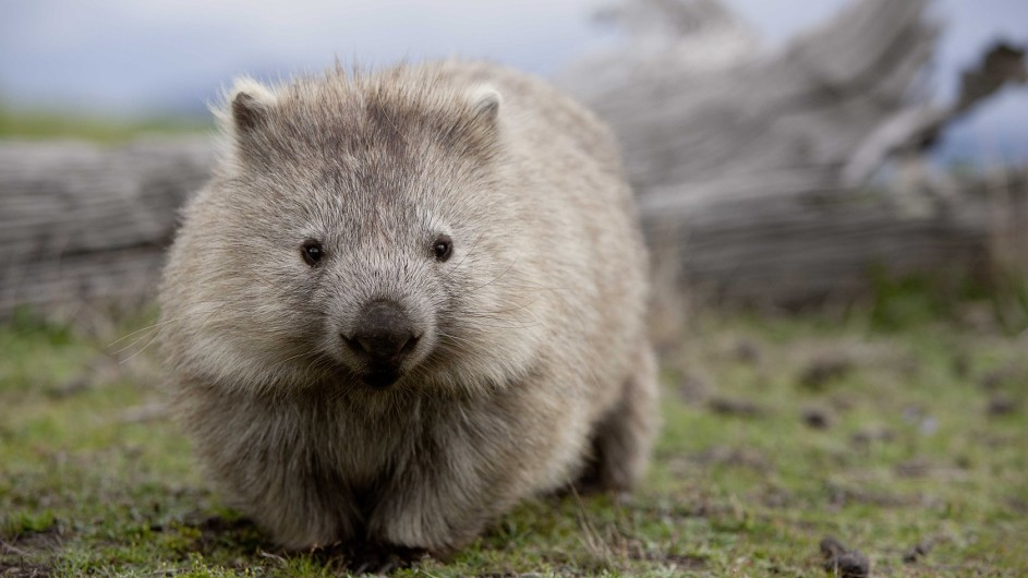 Australien Tasmanien Maria Island Wombat