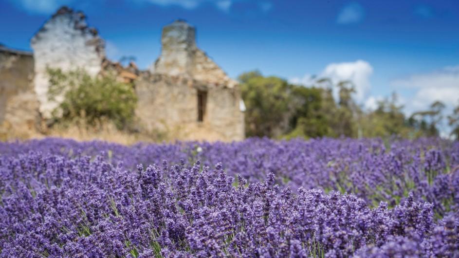 Australien Tasmanien Port Arthur Lavender
