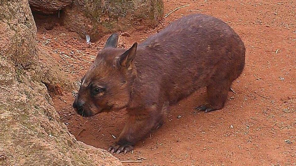 Australien Wombat