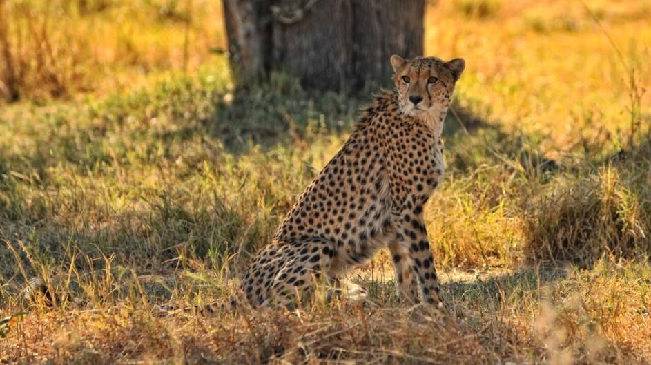 Botswana Khwai Tented Camp Gepard