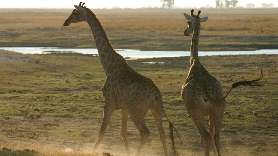 Botswana Giraffen im Chobe Nationalpark