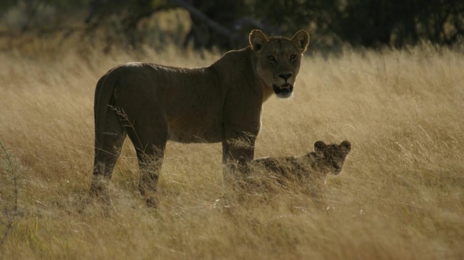 Botswana Löwen im Moremi Game Reserve