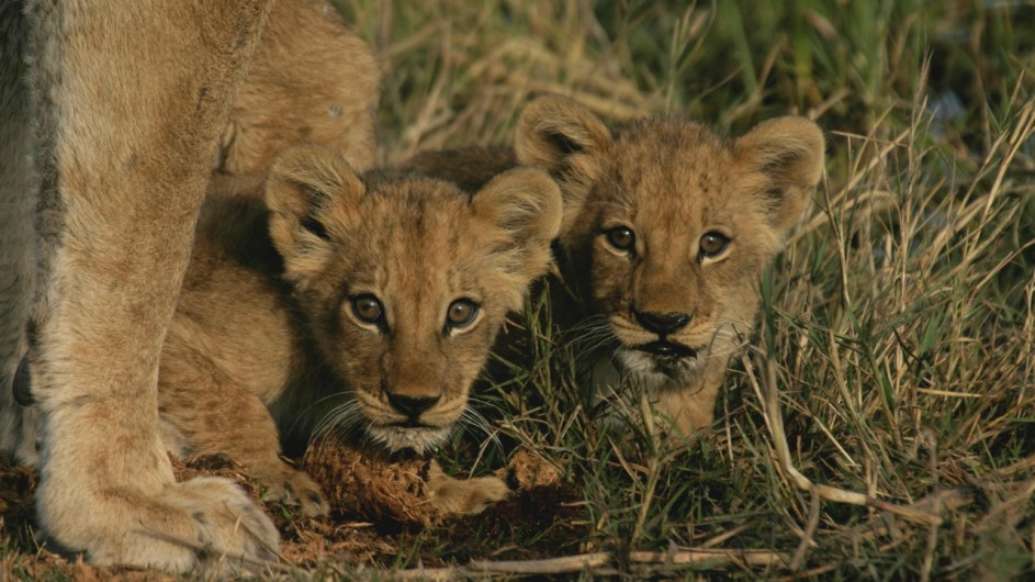 Botswana Löwenbabys im Moremi Game Reserve