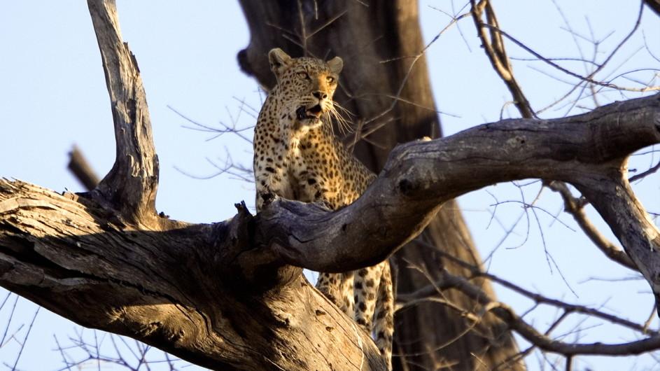 Botswana Camp Savute Leopard