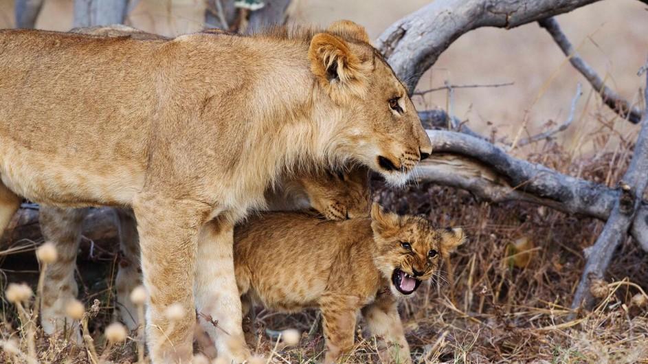 Botswana Savute Safari Lodge Löwen