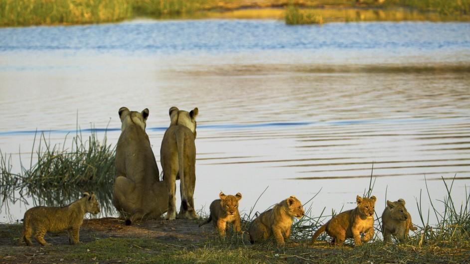 Botswana Zarafa Camp Löwen