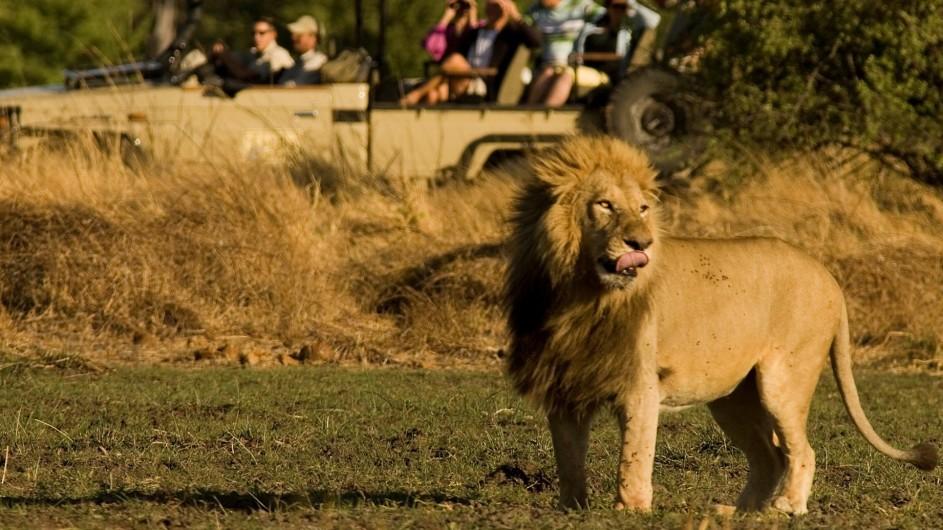 Botswana Letaka Safaris Pirschfahrt Löwe