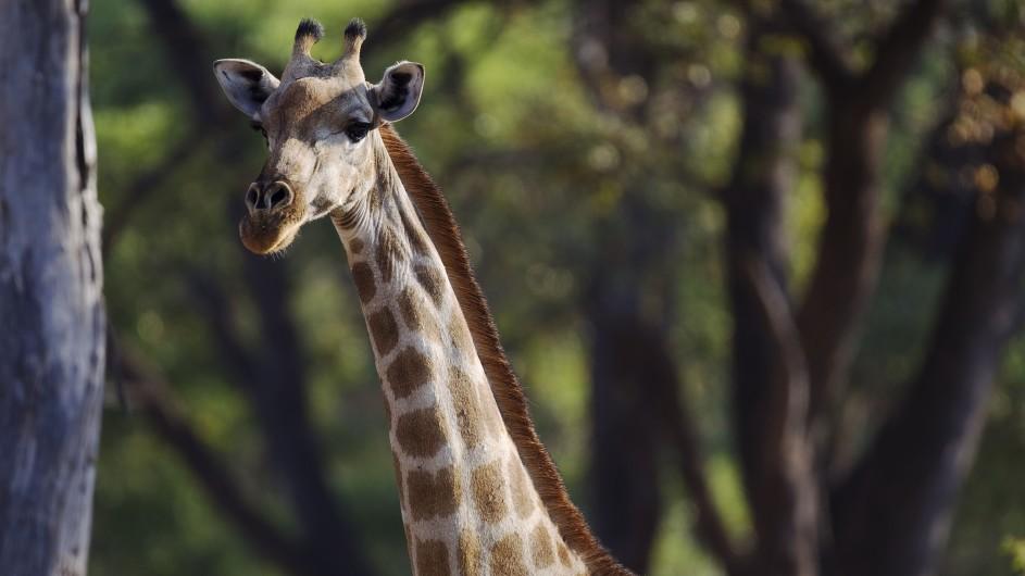 Botswana Moremi Game Reserve Camp Okuti Giraffe
