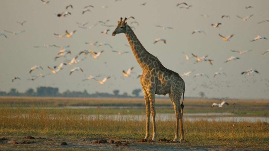 Botswana Sunway Safaris Giraffe im Chobe Nationalpark