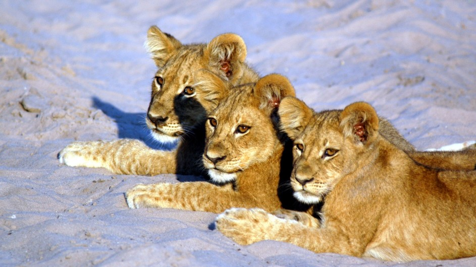 Botswana Sunway Safaris Löwenbabys im Savute Game Reserve