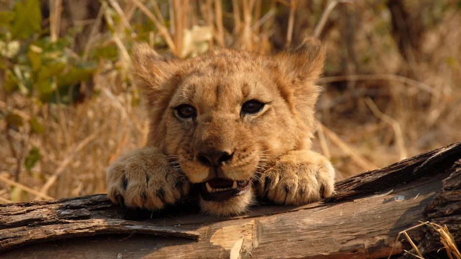 Botswana Löwenbaby